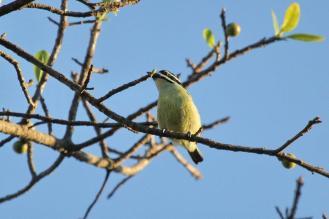 Yellow-rumped Tinkerbird - obliging
