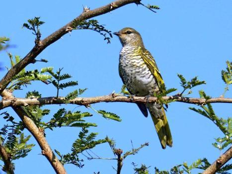 Black Cuckooshrike - female