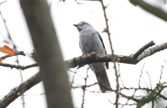 Grey Cuckooshrike