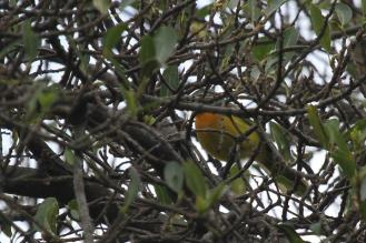 Orange-breasted Bushshrike
