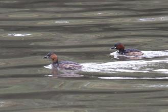 Little Grebes - Mr (right) and Mrs. (Left)