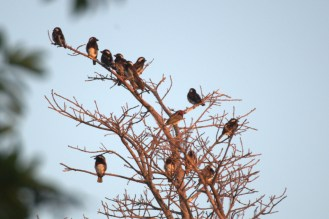 White-eared and Black-collared Barbets