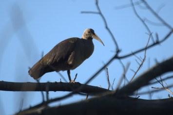 Hadeda Ibis