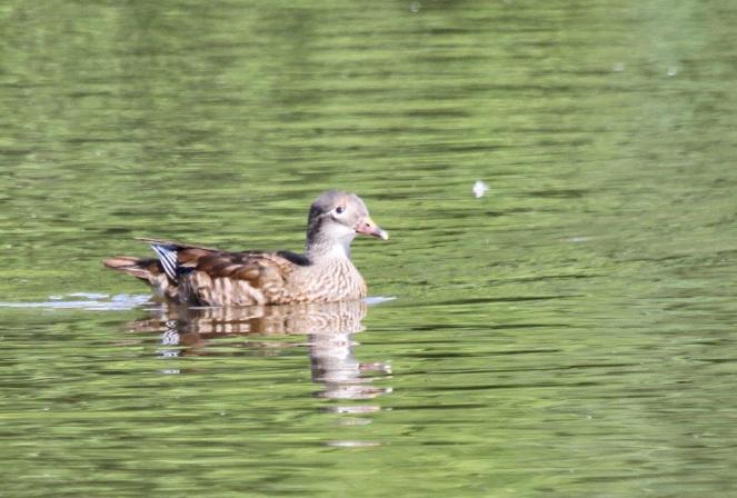 Peking Duck - female