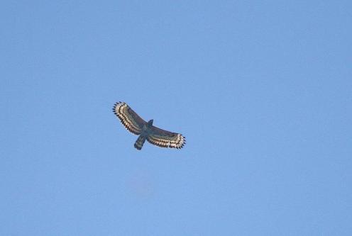 Afrcan Crowned Eagle