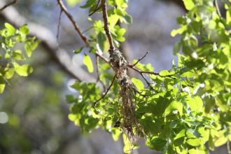 Amethyst Sunbird nest