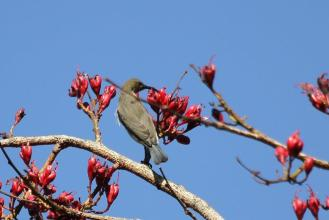 Female White-bellied Sunbird (2)