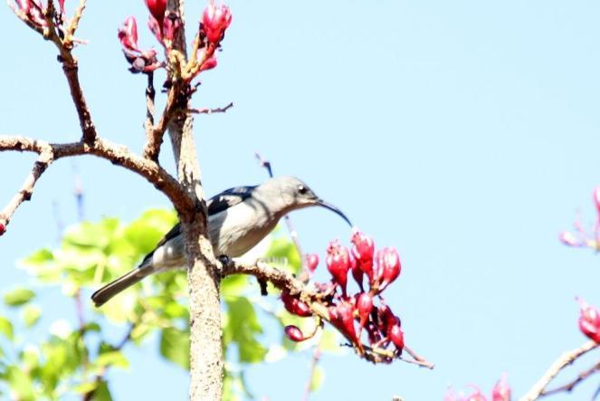 Grey Sunbird (3)