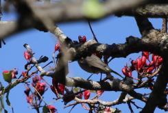 Grey Sunbird (4)