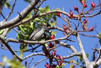 Grey Sunbird (5)