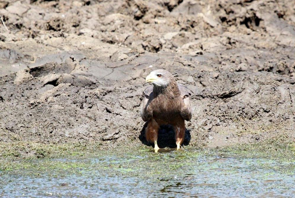 Yellow-billed Kite - look right