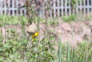 Yellow Weaver nest building