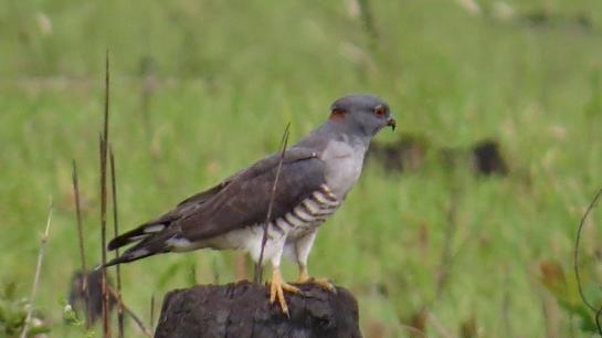 African Cuckoo-Hawk- male