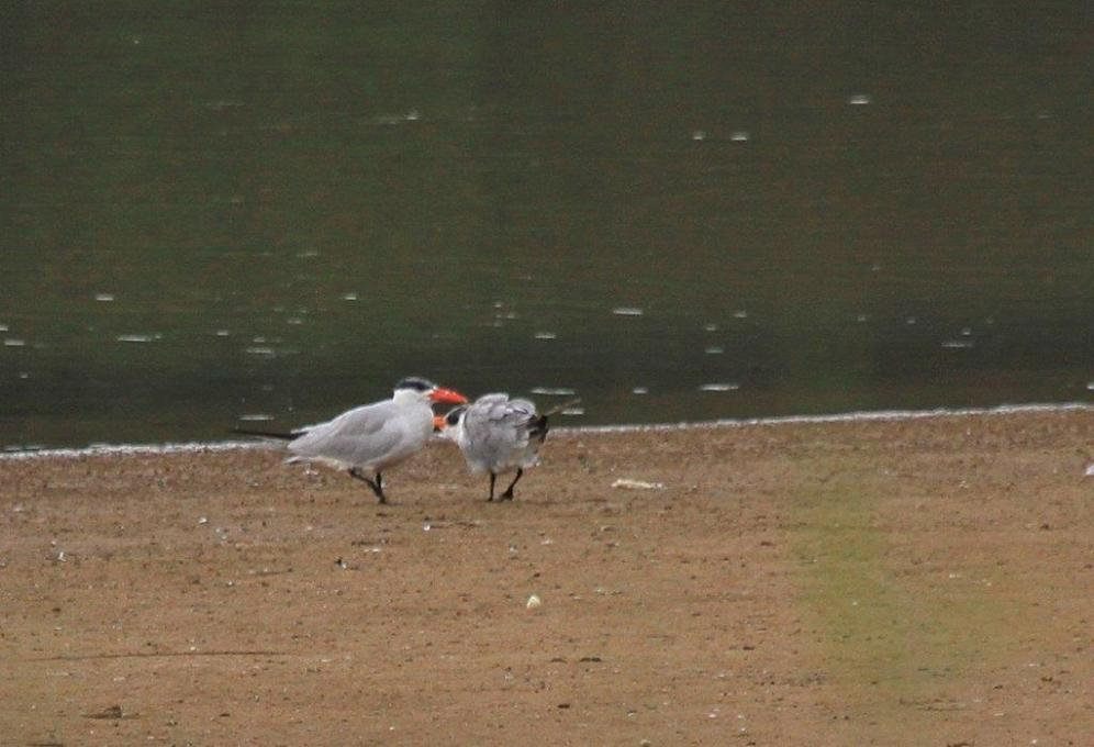 Caspian Tern feeding young