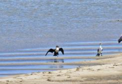 White-breasted Cormorants (note the full white underside of the young bird)
