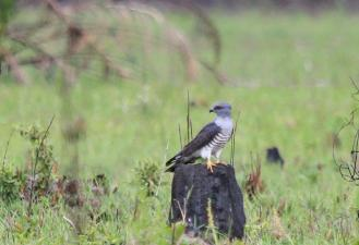 African Cuckoo-Hawk - male