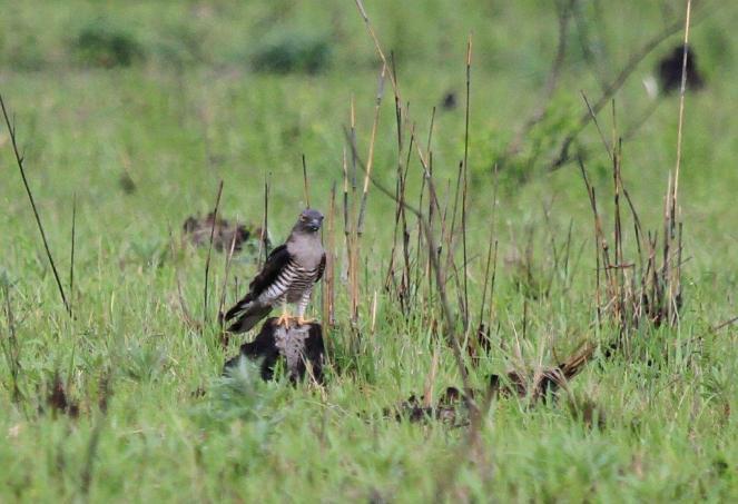 African Cuckoo-Hawk- female