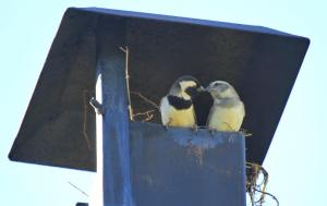Cape Sparrows nesting in our chimney