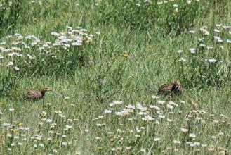 Red-winged Francolins in the daisies