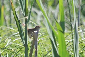 Little Rush-Warbler chirping away