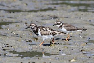 Ruddy Turnstone and Common Ringed Plover