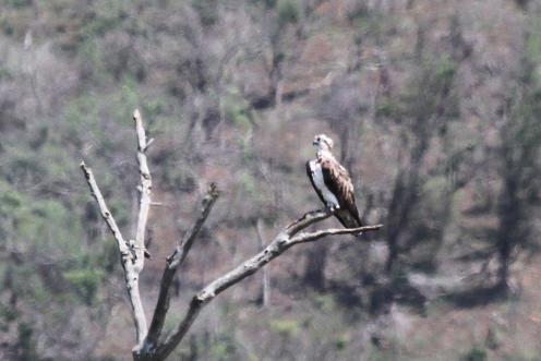 Osprey or Martial Eagle?