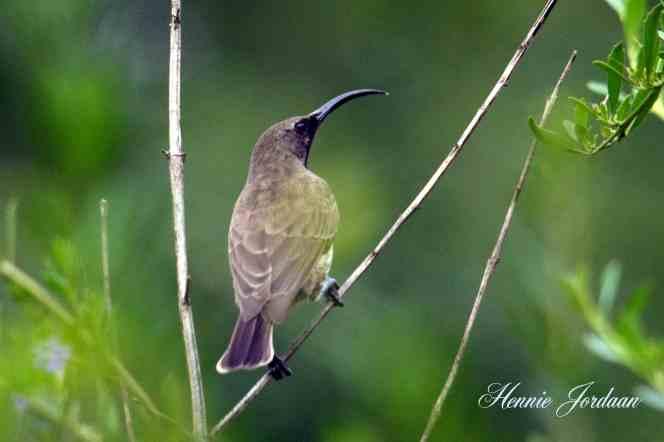 Amethyst Sunbird - Hennie Jordaan
