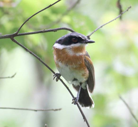 Cape Batis - Crystelle Wilson