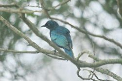Cape Glossy-Starling