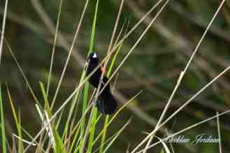 Fan-tailed Widowbird - Decklan Jordaan