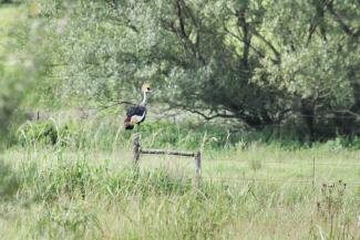 Grey-crowned Crane on the lookout.