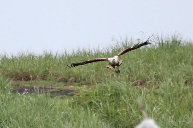 African Fish-Eagle - juvenile