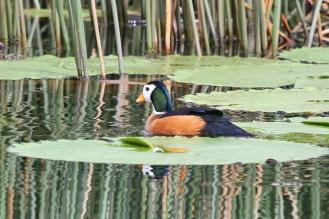 African Pygmy-Goose - male
