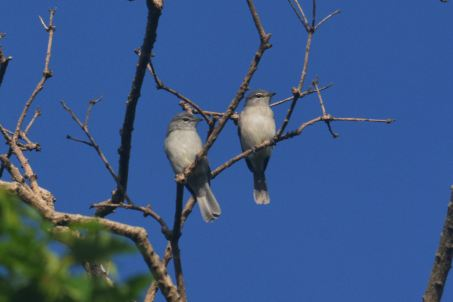 Ashy Flycatchers. Hennie and Decklan Jordaan