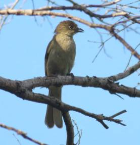 Sombre Greenbul - Crystelle Wilson