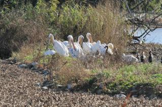 White-backed Pelicans