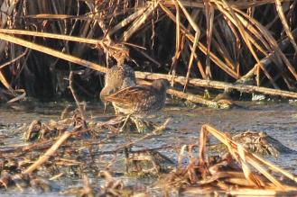A pair of Spotted Crakes