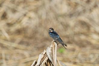 Barn Swallow?