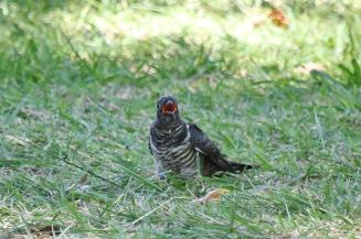 Red-chested Cuckoo - juvenile - squeaking for food