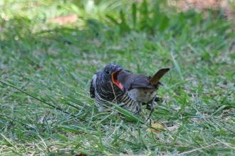 Red-chested Cuckoo being fed