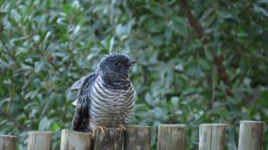 Red-chested Cuckoo - juvenile