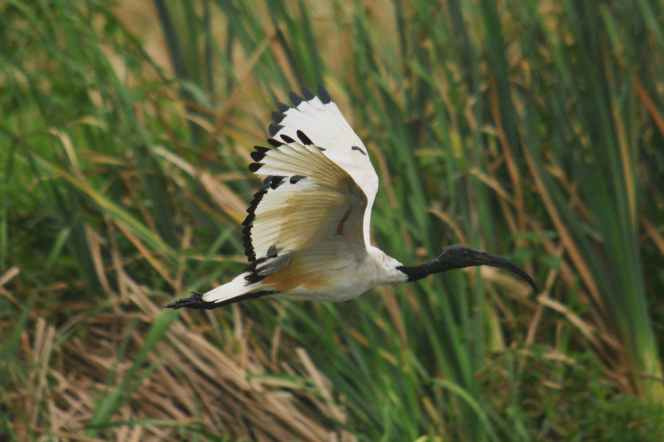 African Sacred Ibis - Hennie and Decklan Jordaan