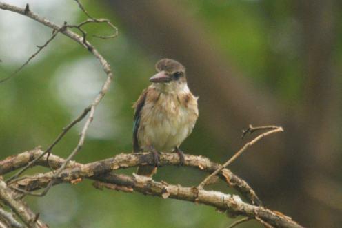 Brown-hooded Kingfisher - Hennie and Decklan Jordaan