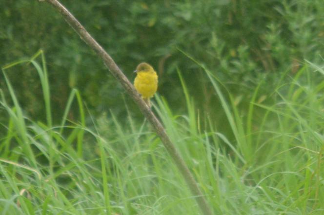 Dark-capped Yellow Warbler - Hennie and Decklan Jordaan