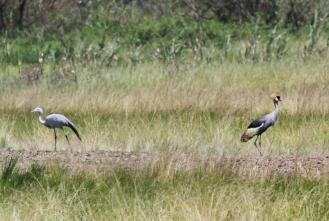 Blue and Grey-crowned Cranes together