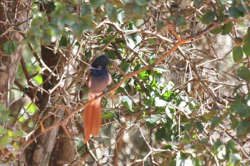 African Paradise Flycatcher with the sand's reflection distorting his colouring