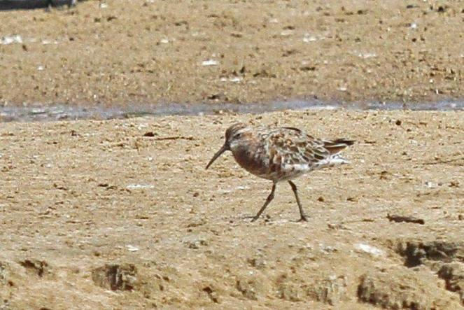 Curlew Sandpiper going into breeding plumage