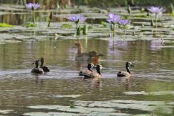 White-faced Ducks and Egyptian Goose