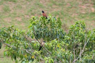 Burchell's Coucals