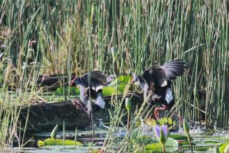 Fighting African Purple Swamphens